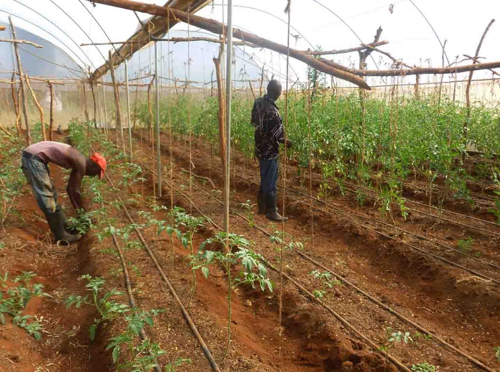 MPC workers tending the greenhouse crops