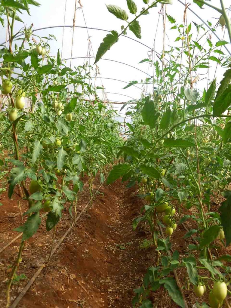 Tomatoes growing in an MPC greenhouse