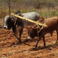 SASOL's Conservation Agriculture Pilot Project