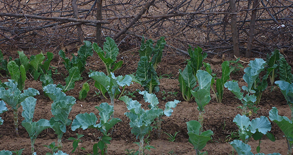 Kitchen garden full of sukuma wiki (kale)